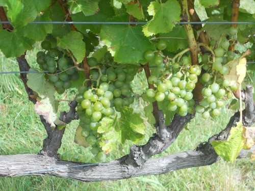 Semillon_grapes_on_the_vine